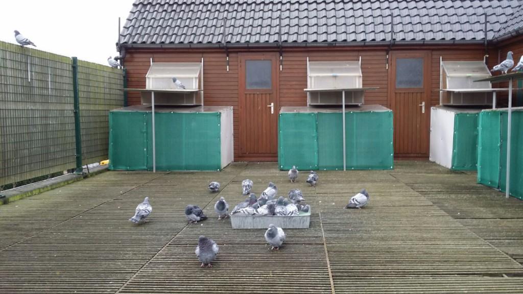 Badende duiven na ophokplicht van 19/12/15 tot 03/01/16