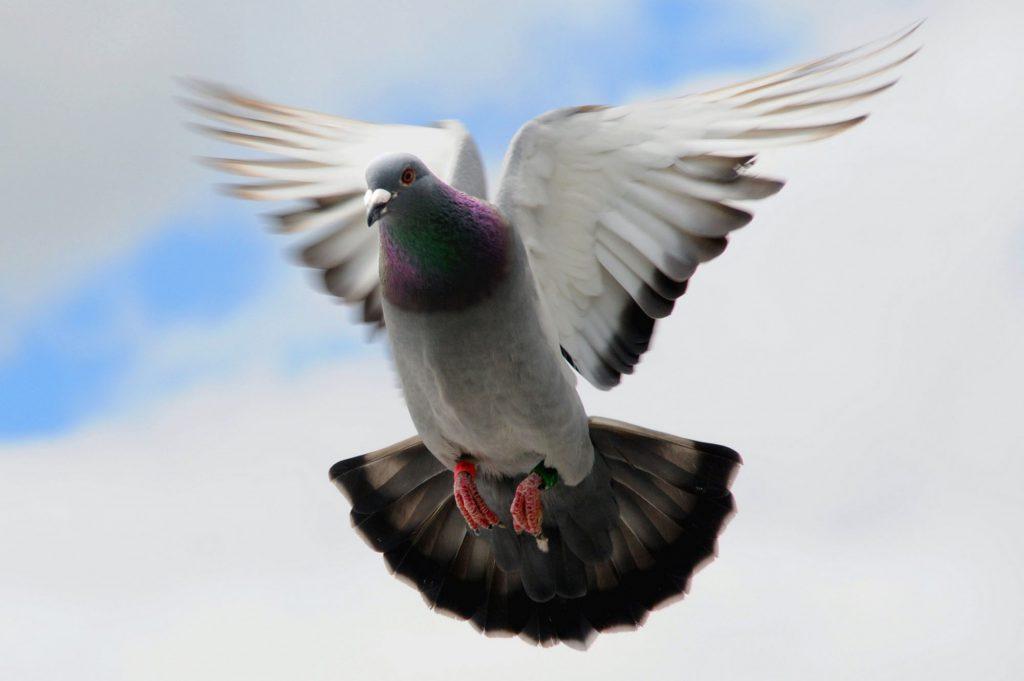 duiven2