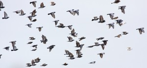 pigeons-flying